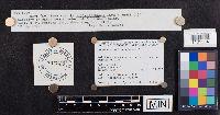 Leccinum subleucophaeum image
