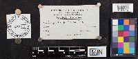 Lepiota farinosa image