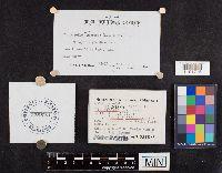 Leucogloea compressa image
