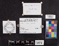 Leucopaxillus tricolor image