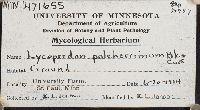 Lycoperdon pulcherrimum image