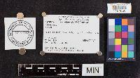 Lyophyllum semitale image