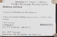 Mutinus caninus image