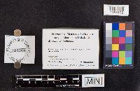 Mycena amygdalina image