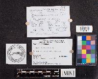 Image of Parasola conopilus
