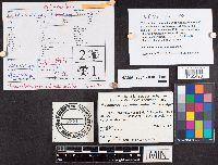 Flammulaster erinaceellus image