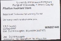 Phallus hadriani image