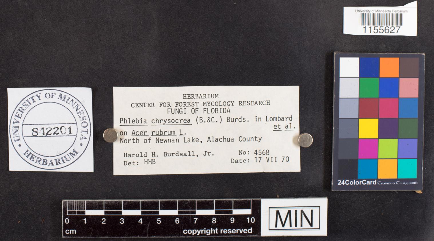 Phlebia chrysocrea image