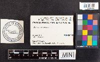 Image of Pholiota praecox