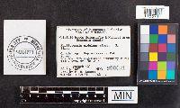 Phyllotopsis nidulans image