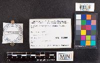 Image of Pluteus chrysophaeus