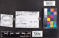 Pluteus chrysophaeus image