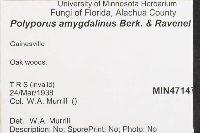 Polyporus amygdalinus image