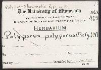 Polyporus polyporus image
