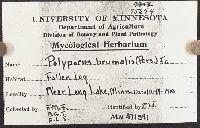 Polyporus brumalis image