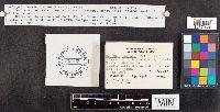 Polyporus leptocephalus image