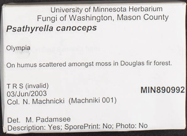 Psathyrella canoceps image