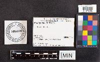 Psathyrella hesleri image