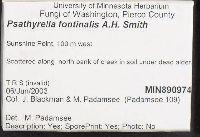 Psathyrella fontinalis image