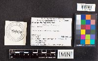 Image of Psathyrella fulvobrunnea