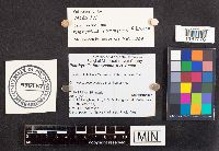 Psathyrella luteovelata image