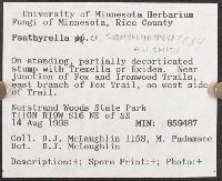 Psathyrella subhyalinispora image