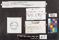 Psathyrella sublateritia image