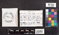 Psilocybe coprophila image