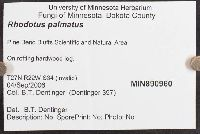 Rhodotus palmatus image