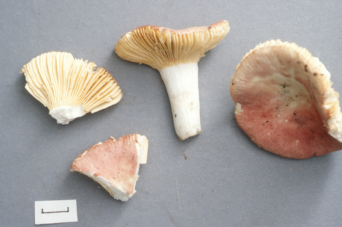 Russula amygdaloides image