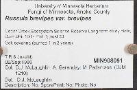 Russula brevipes var. brevipes image