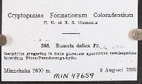Russula delica image