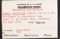 Russula fragilis image