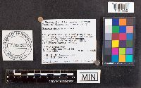 Russula galochroa image