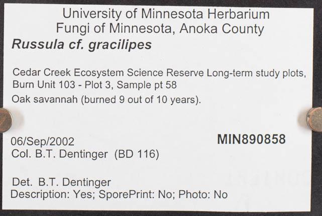 Russula gracilipes image
