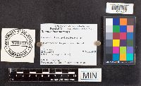 Russula incarnaticeps image