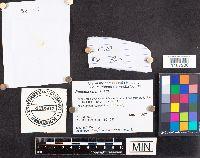 Russula puellaris image