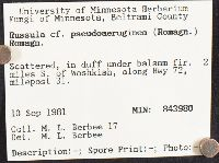 Russula pseudoaeruginea image
