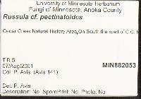 Russula pectinatoides image