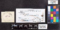 Russula semicrema image