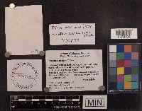Amanita sinicoflava image
