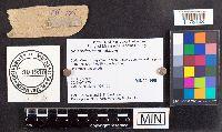 Scleroderma areolatum image