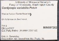 Cordyceps variabilis image