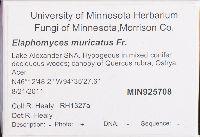 Elaphomyces muricatus image