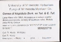Genea hispidula image