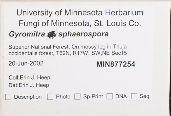 Gyromitra sphaerospora image