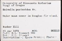 Helvella pezizoides image