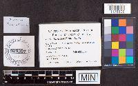 Isaria farinosa image