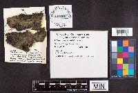 Image of Cercophora sulphurella