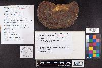 Image of Ganoderma wiiroense